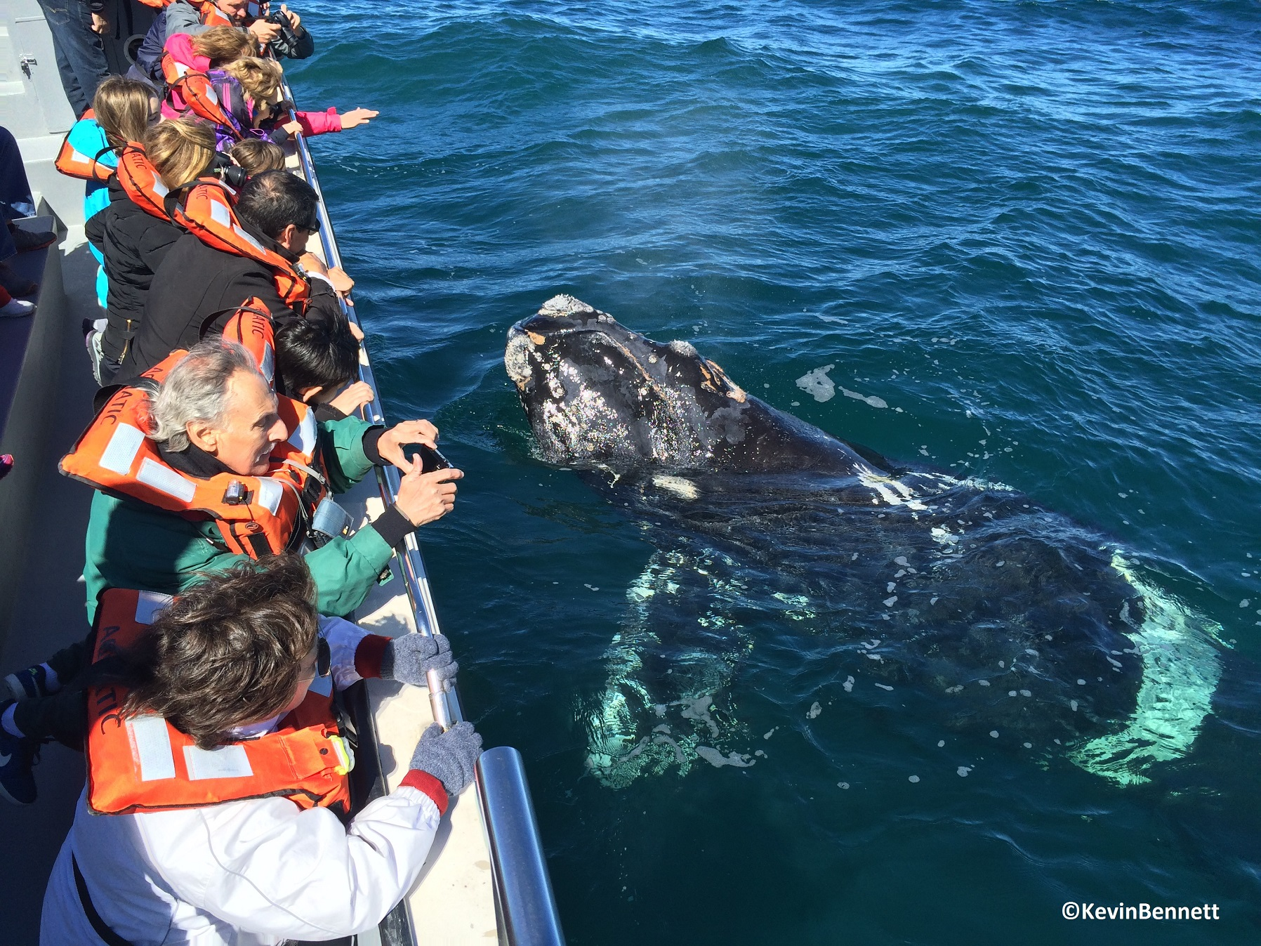 Whale Closeup - Copyright Kevin Bennett