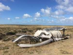 Whale Skeleton - Copyright Kevin Bennett