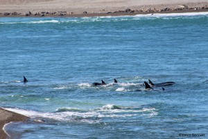 Orca Pod 1 -Copyright Kevin Bennett