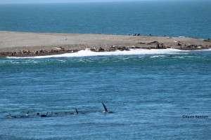 Orca Pod 2 - Copyright Kevin Bennett