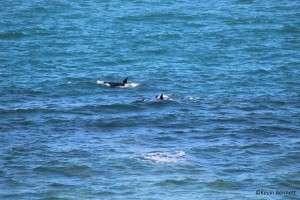 Orca Pod 3 - Copyright Kevin Bennett