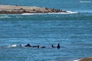 Orca Pod - Copyright Kevin Bennett