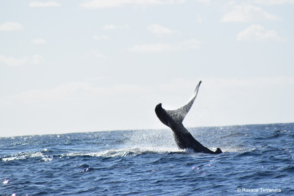 Tail-slapping humpback whale
