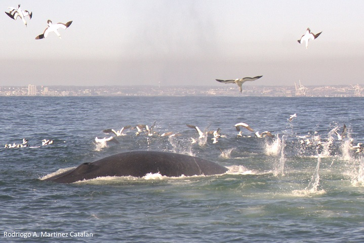 Algoa Bay_Brydes whale_Cape Gannet_feedingRodrigo A. Martinez Catalan