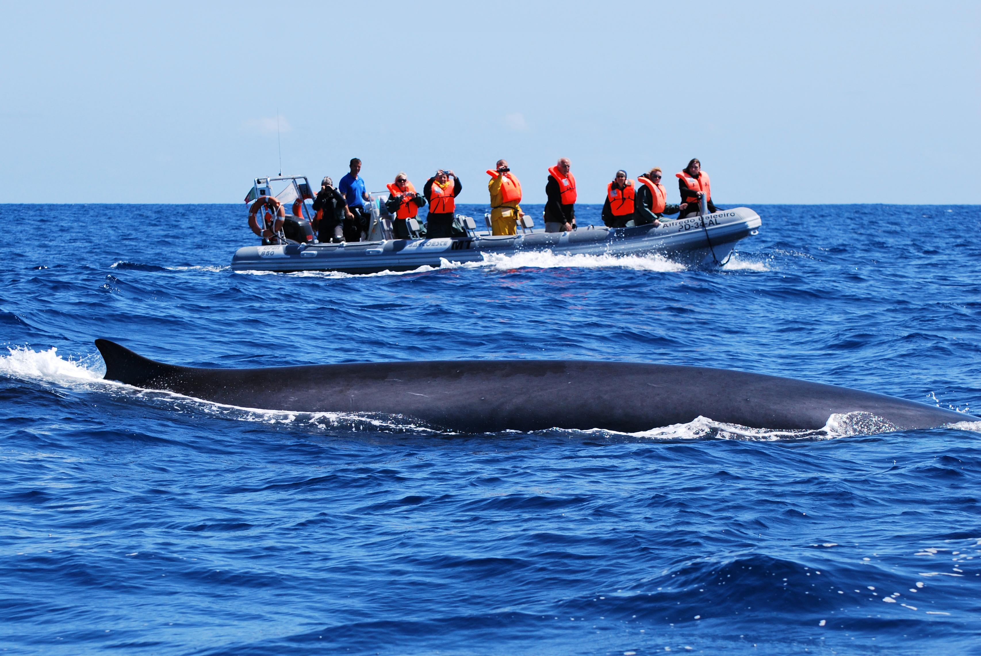 Blue whale and boat - Copyright Miranda van der Linde (7)