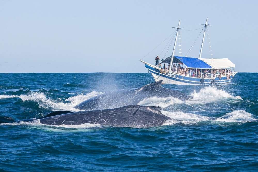 Humpback_whale-watching_Praia_do_Forte_Brazil_Enrico_Marcovaldi