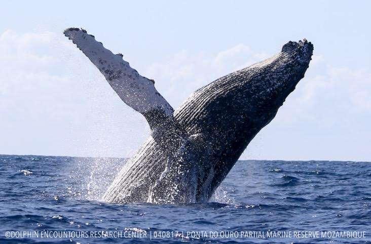 humpback angie gullan
