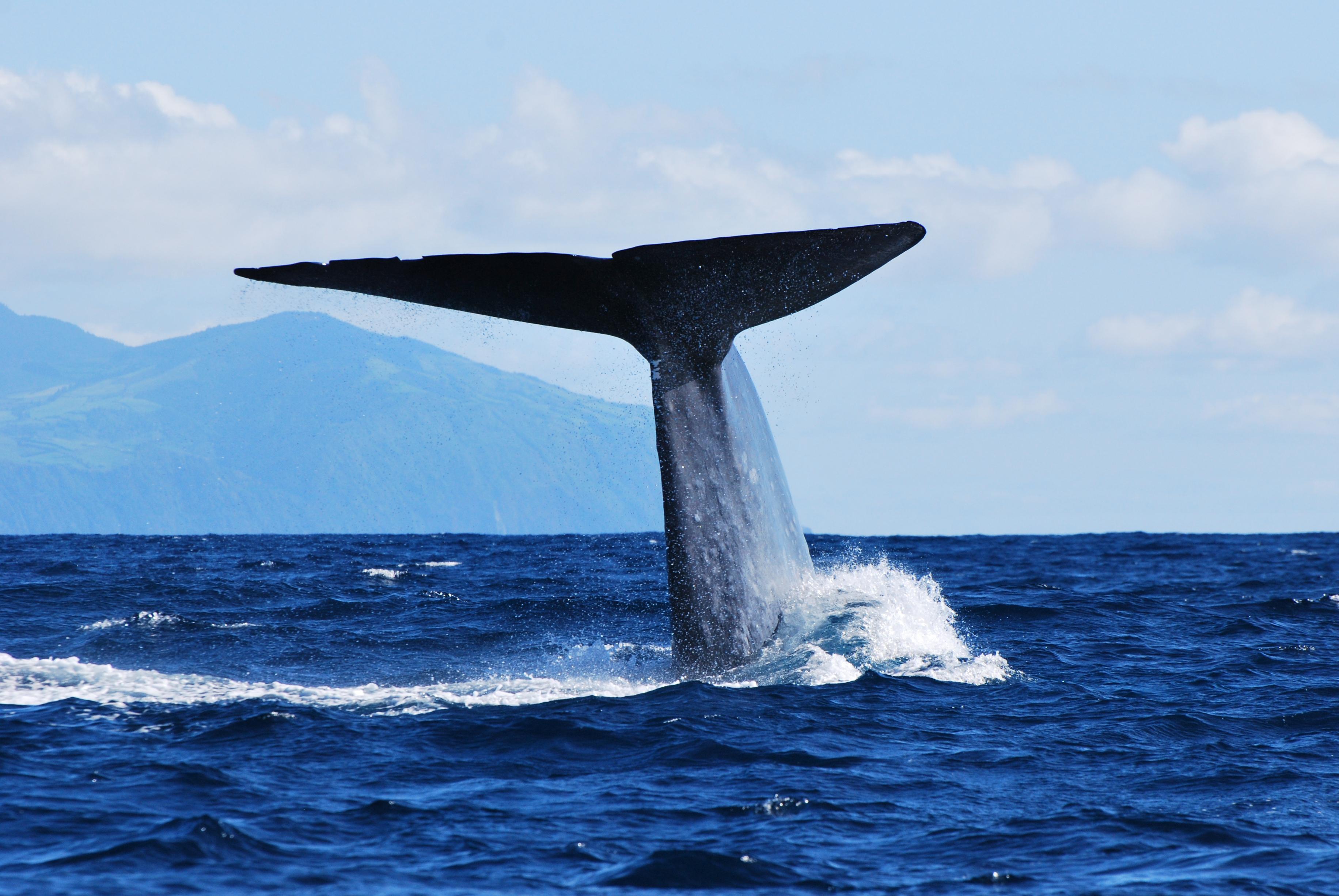© Miranda van der Linde | Azores Whale Watching Futurismo