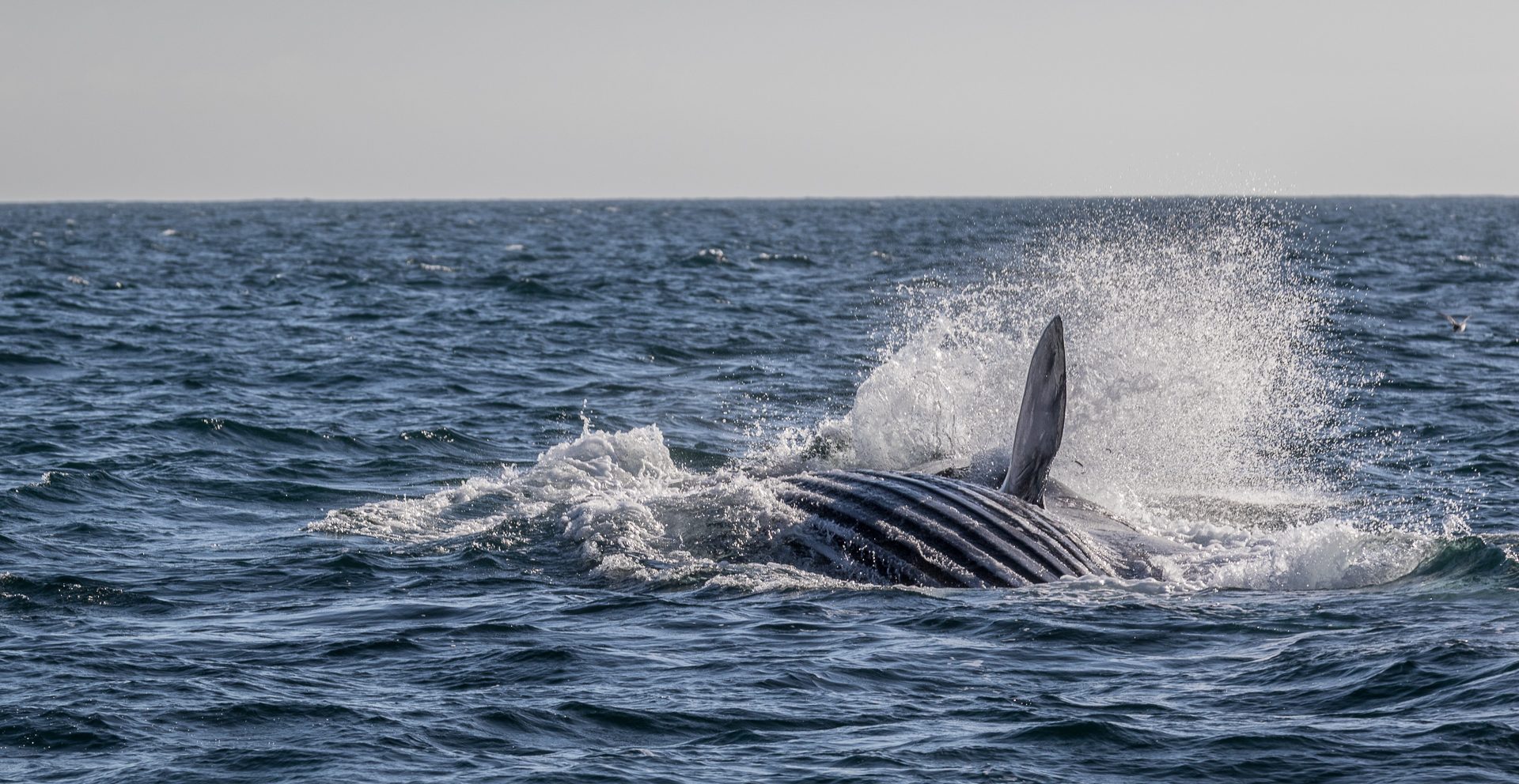 Fin whale lunge feeding. Photo: Whale Watch West Cork