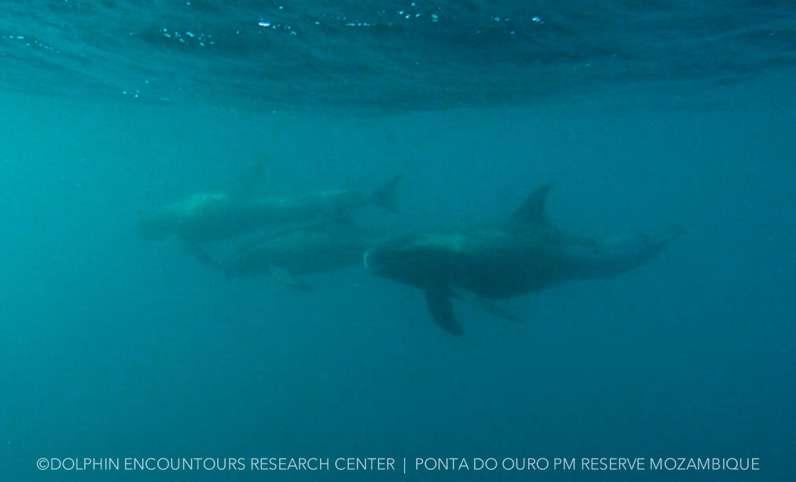 Pygmy Killer Whale. Image; Dolphin Encountours