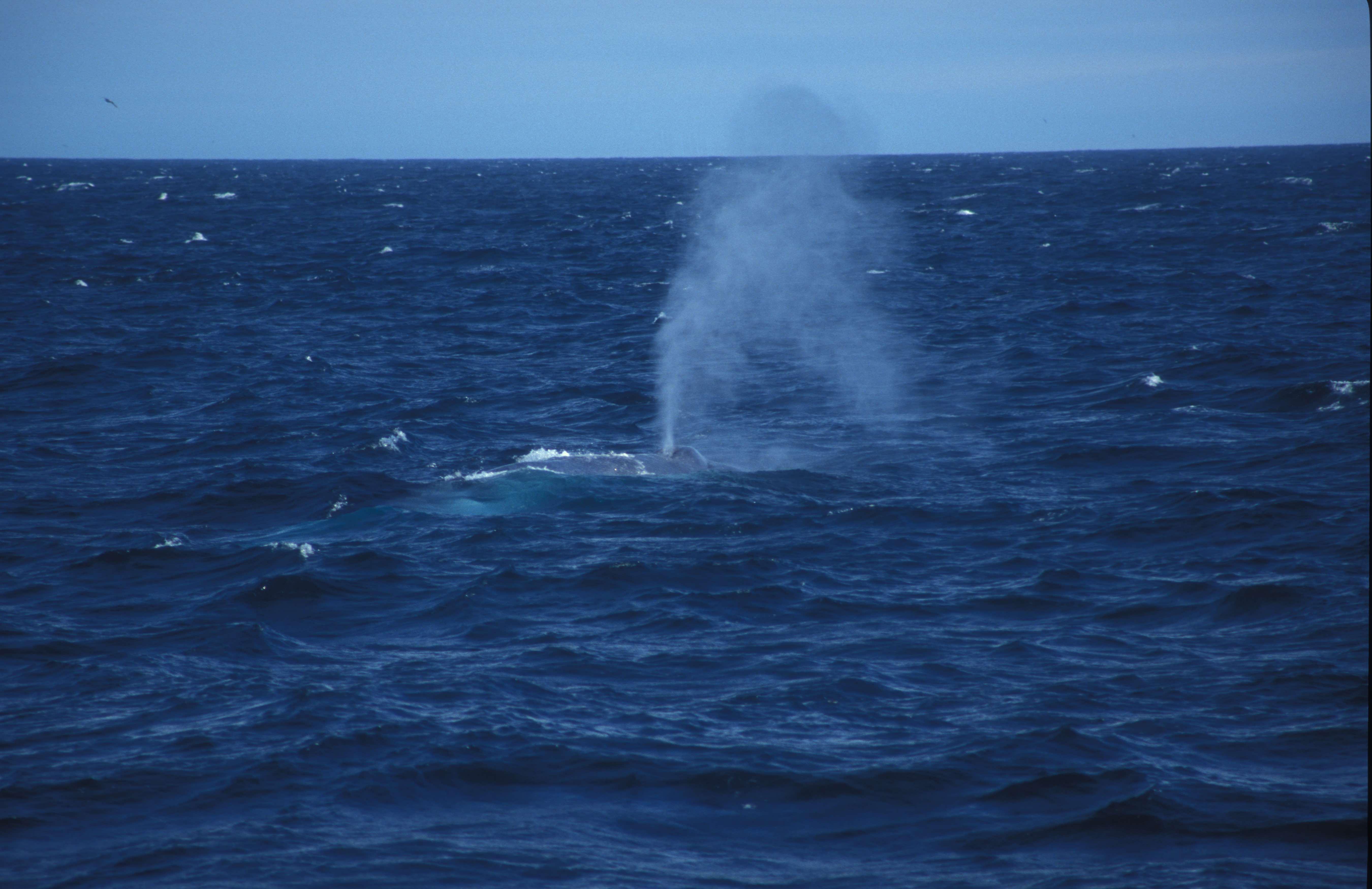 Blue Whale 1DW