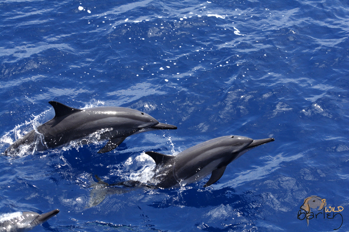 Spinner Dolphins. Image: Rachael Barber