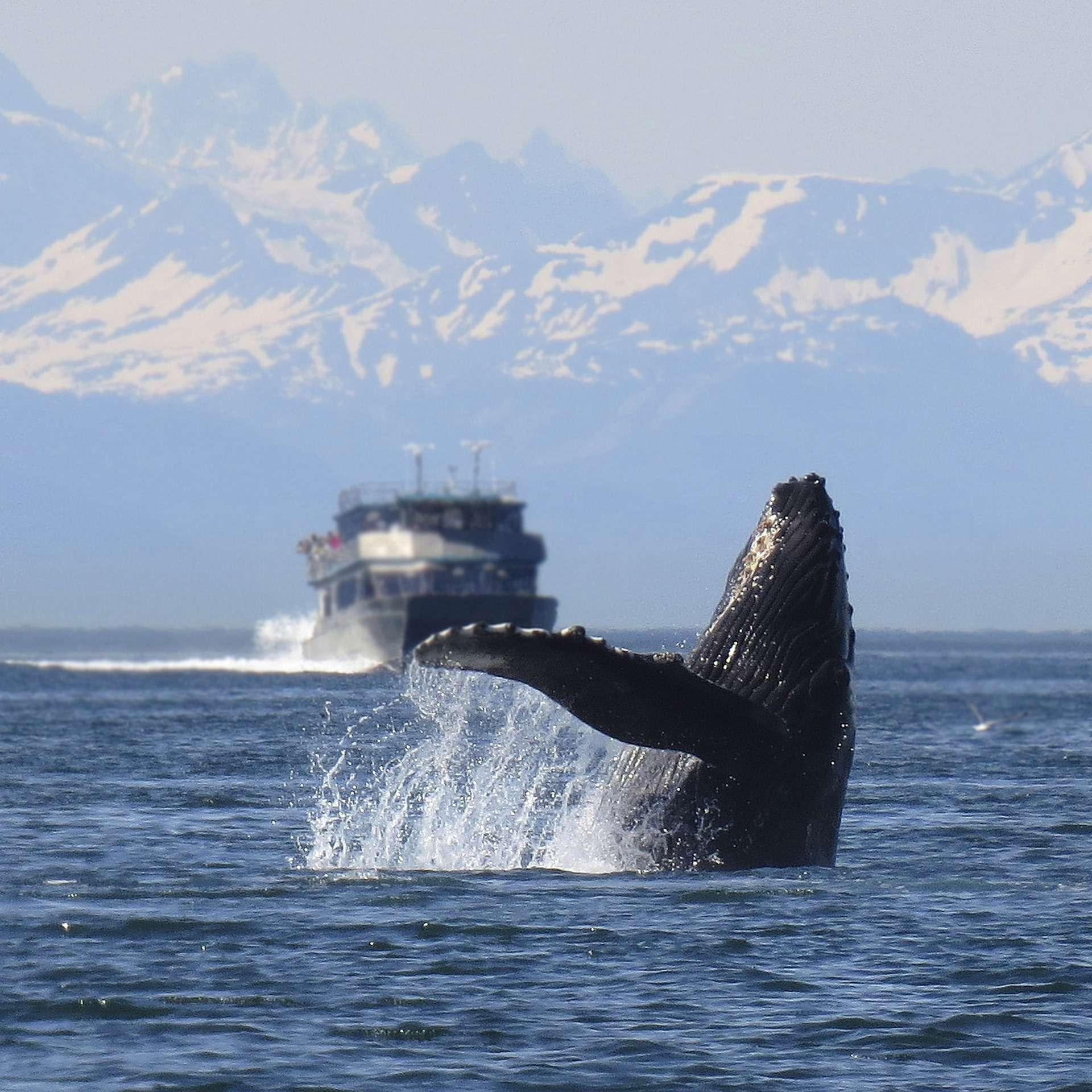 humpback-1132769_1920