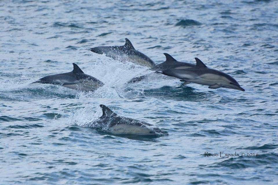CommonDolphin_Gibraltar_DolphinAdventureGibraltar_03