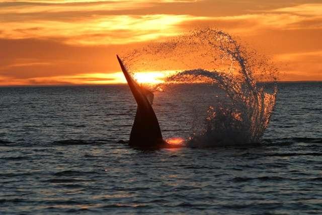 Copyright: Bottazzi Whale Watch