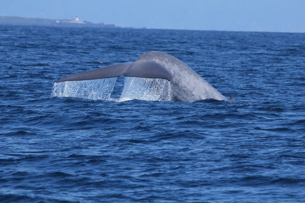 Blue whale in the Azores. Photo: Rachael Barber