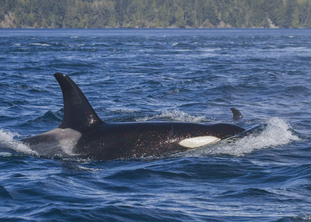 Orca. Taken with a telephoto lense and cropped. Photo: Stephanie Stefanski.