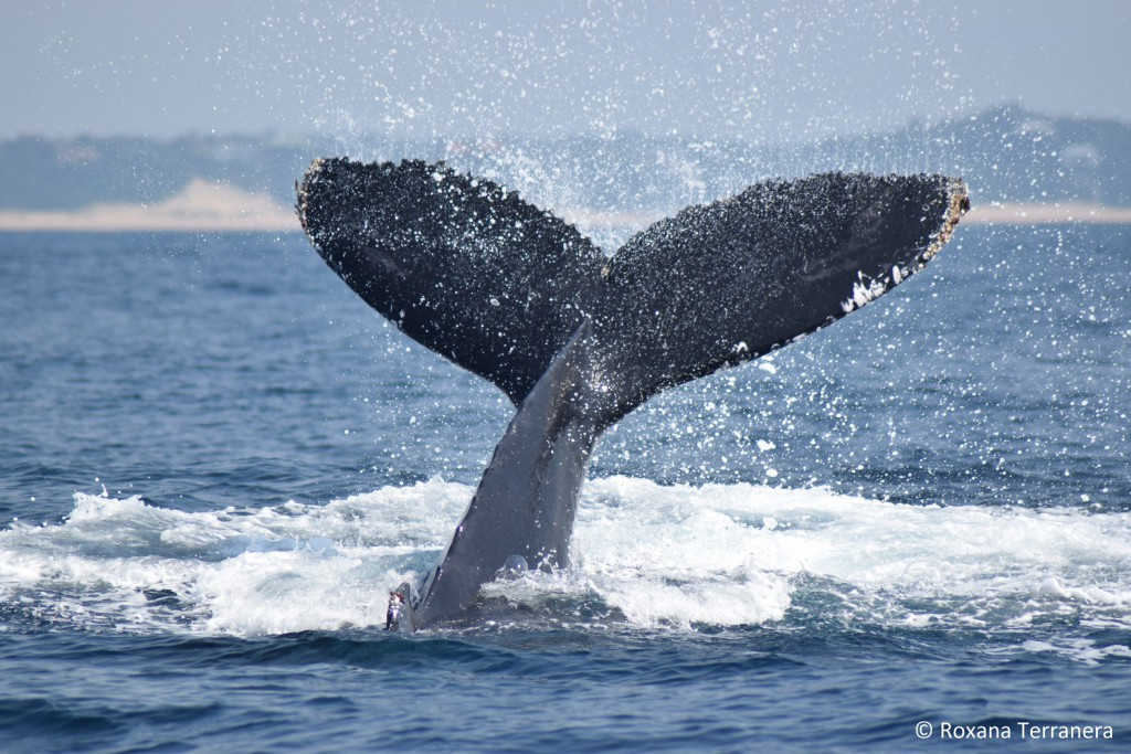Humpback whale tail slapping