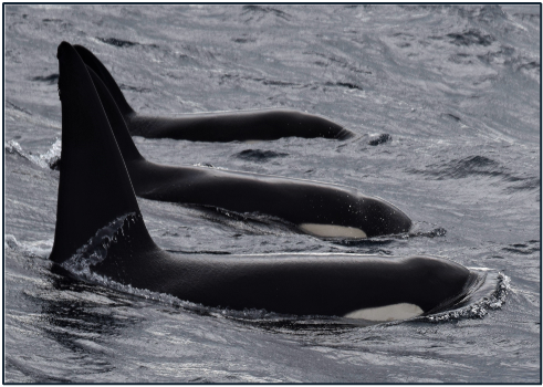 An update from Futurismo on their understanding of Orca populations off the South coast of São Miguel Island, Azores